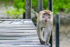macaque που παρακολουθείται μακροχρόνιο Στοκ Φωτογραφίες