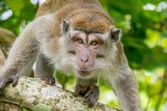 macaque που παρακολουθείται μακροχρόνιο Στοκ Εικόνες