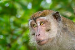 macaque που παρακολουθείται μακροχρόνιο Στοκ φωτογραφία με δικαίωμα ελεύθερης χρήσης