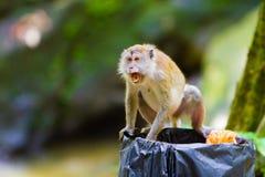 macaque που παρακολουθείται μακροχρόνιο Στοκ Φωτογραφία