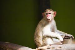 macaque που παρακολουθείται μακροχρόνιο Στοκ Εικόνα
