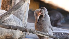 macaque младенца сток-видео