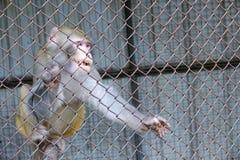 macaque arkivfoton
