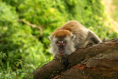 Macaque. Indonesian macaque monkey in the jungle in Sumatra royalty free stock photo