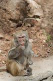 Macaque Fotografía de archivo libre de regalías