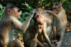 обезьяны macaque холить Стоковая Фотография RF