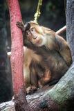 macaque royaltyfri foto