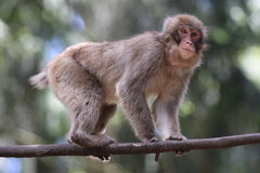 Macaque. Close up of a Macaque stock photography