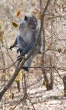 macaque Стоковое Изображение RF