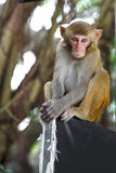 Macaque Stock Image
