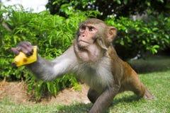 Macaque Lizenzfreie Stockfotografie