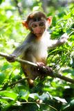 Macaque Stock Photo