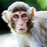 Macaque Royalty Free Stock Image