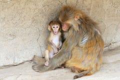 Macaque imagenes de archivo