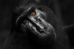 Macaque Stockbild