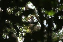 Macaque Stock Afbeelding