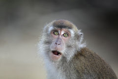 Macaque. Close-up portrait, Borneo, Malaysia royalty free stock photo