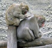 macaque Royaltyfria Foton