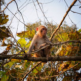 Macaque Fotografia de Stock Royalty Free