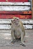 macaque Photo stock