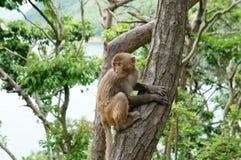 macaque Royaltyfri Bild