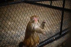 Macaque Stock Photo
