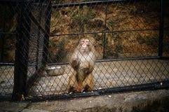 macaque Fotos de archivo