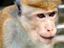 macaque Royalty-vrije Stock Foto