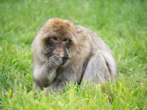 macaque Photographie stock