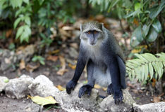 macaque Stockbilder