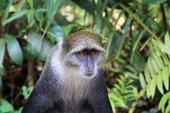 macaque Lizenzfreie Stockbilder