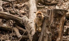 macaque Royalty-vrije Stock Afbeeldingen