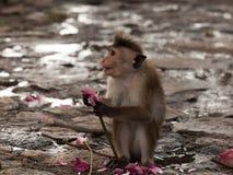 macaque Stock Afbeeldingen