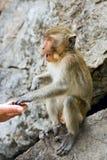macaque Stockfoto