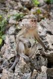 macaque Stockbilder