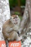 macaque Στοκ Φωτογραφίες