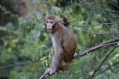 macaque Imágenes de archivo libres de regalías