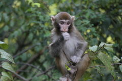 macaque Fotos de archivo libres de regalías