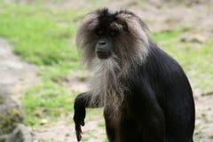 macaque Immagine Stock