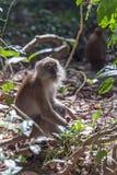 macaque Photographie stock libre de droits