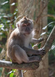 macaque Immagine Stock