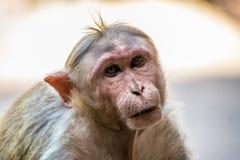 macaque royaltyfria bilder
