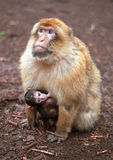 Macaque. Few days old monkey baby with its mother Stock Photography
