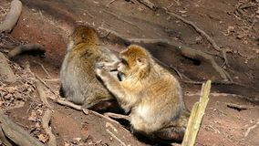 macaque φιλμ μικρού μήκους