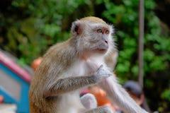 Με μακριά ουρά Macaque της Μαλαισίας στοκ φωτογραφία με δικαίωμα ελεύθερης χρήσης