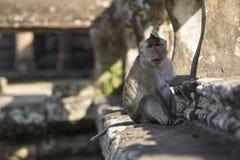 Macaque-Aapzitting met lange staart op oude ruïnes van Angkor Wa Stock Fotografie