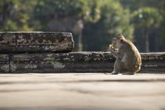Macaque-Aapzitting met lange staart op oude ruïnes van Angkor Wat Royalty-vrije Stock Foto's