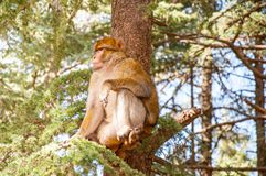 Macaque above the tree Royalty Free Stock Image