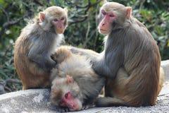 Macaque Achteroneffenheid royalty-vrije stock fotografie