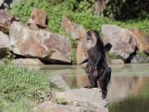 Macaque alert on the rock - side view Stock Photo